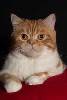 Een witrode schotse kat met mooie feloranje ogen ligt op een rood kussen