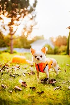 Een witte chihuahua-hond in een oranje vest zit op het gras bij een pompoen. hoge kwaliteit foto