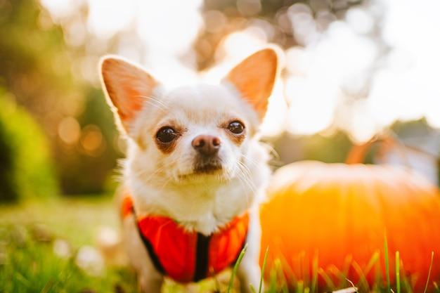 Een witte chihuahua-hond in een oranje vest zit op het gras bij een pompoen