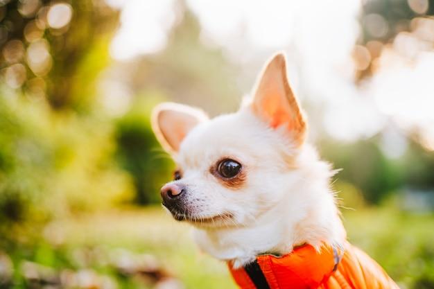 Een witte chihuahua-hond in een oranje vest