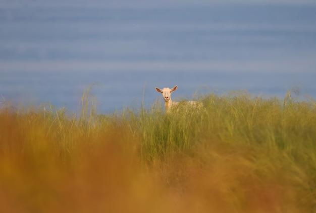 Een witte geit wordt gefotografeerd in dicht gras tegen de achtergrond van het blauwe water van het estuarium