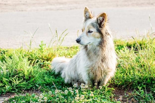 Een witte hondje zit op het gras na een wandeling in het natte gras