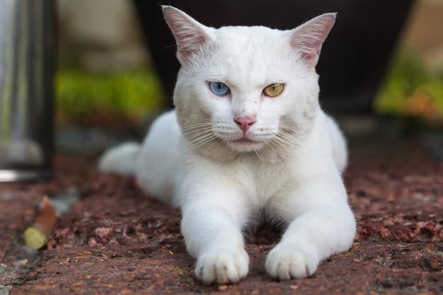 Een witte kat vreemde ogen, gele en blauwe hurkzit op de steen