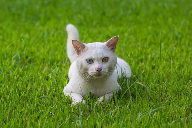 Een witte kat vreemde ogen, gele en blauwe hurkzit op het groene grasveld
