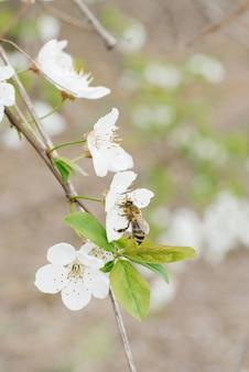 Een witte kersenbloem en een bij erop in de tuin