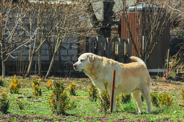 Een witte labrador hond ligt in de tuin op de grond