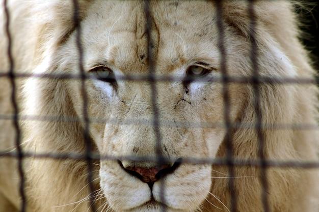 Een witte leeuw