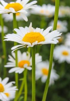 Een witte margrietclose-up op het bloembed