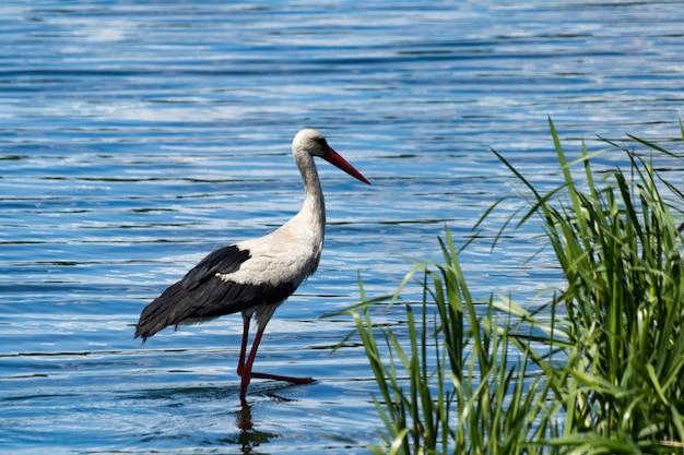 Een witte ooievaar met zwarte vleugels aan de oever van de rivier