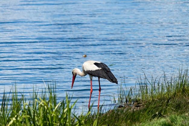 Een witte ooievaar met zwarte vleugels en een rode bek aan de oever van de rivier