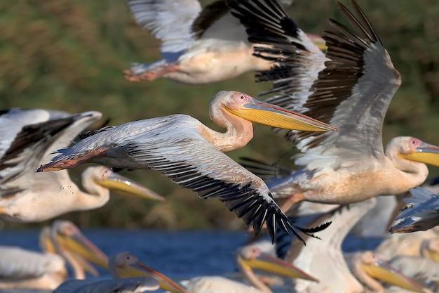 Een witte pelicaninevlucht in zacht ochtendlicht.