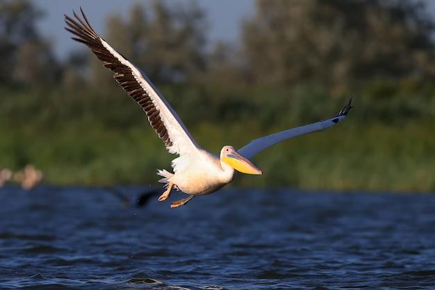 Een witte pelikaan stijgt op uit blauw water in zacht ochtendlicht.