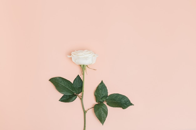 Een witte roze bloem met groene bladeren op een pastelroze achtergrond