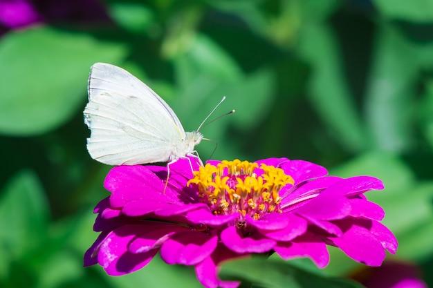 Een witte vlinder zit op een paarse bloem van zinnia op een zonnige zomerdag