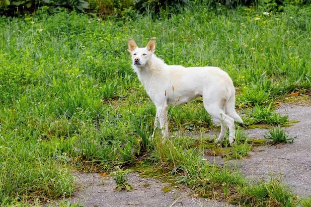 Een witte zwerfhond aan de kant van de weg tussen het groene gras. de hond zoekt de eigenaar