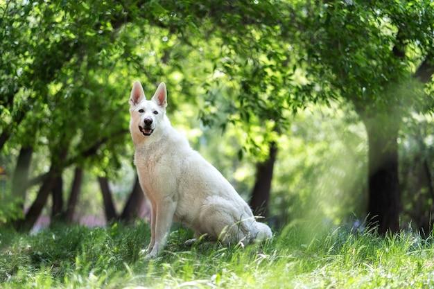 Een witte zwitserse herder zit op het gras