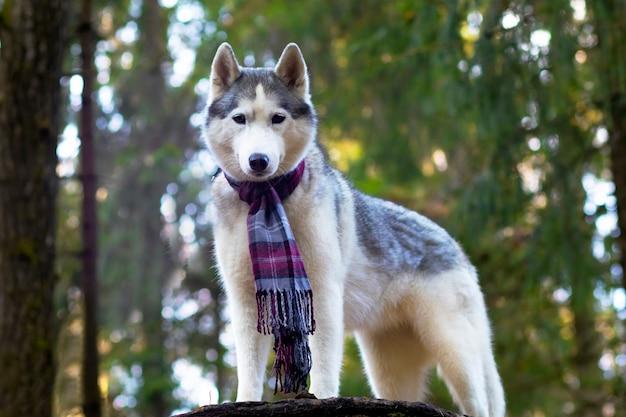 Een wolfachtige husky, volle groei in een sjaal tegen een bosachtergrond. canadese, noordelijke hond.