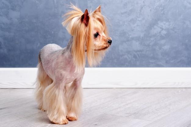 Een yorkshire terrier met een aziatisch kapsel staat op de vloer van een huis.