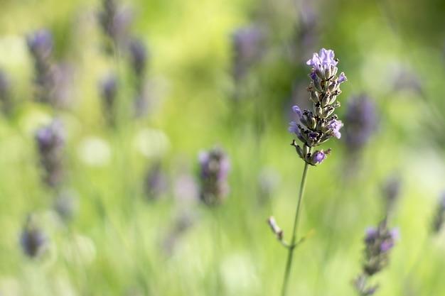 Een zacht paarse lavendelbloem tegen een achtergrond van lichtgroene onscherpe achtergrond met een struik
