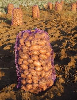 Een zak met vers geplukte aardappelen in het veld. herfst oogsten. landbouw en landbouw.