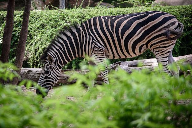 Een zebra in een kooi, afrikaanse dieren in het wild