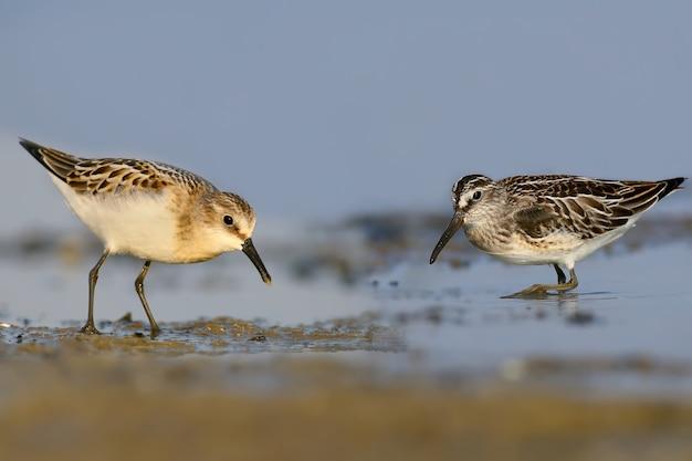 Een zeldzaam en ongewoon beeld. de kleine strandloper en de breedsnavelstaart voeden zich samen aan de oever van de riviermonding. identificatiekenmerken van elke vogel zijn goed zichtbaar.