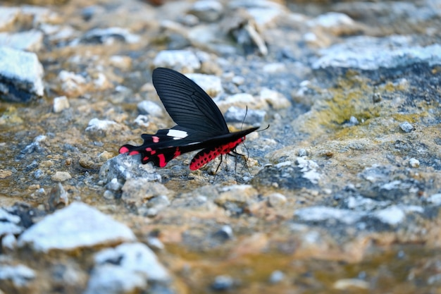 Een zeldzame vlinder (euthalia irrubescens fulguralis) met mooie rode bliksem
