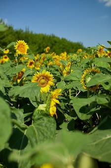 Een zonnig veld met zonnebloemen in gloeiend geel licht. een felgele en volledig uitgebloeide zonnebloem, natuurlijke olie, landbouw