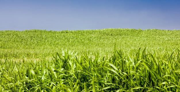 Een zonovergoten landbouwveld met groene suikermaïs op maïs maïs natuurlijk vuil en vuil en schade verscheen tijdens de groei die werd gebruikt voor voedsel en andere doeleinden