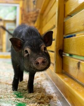 Een zwart varken op een boerderij, een dwergzwijn dat bij een houten hek staat. zwijn