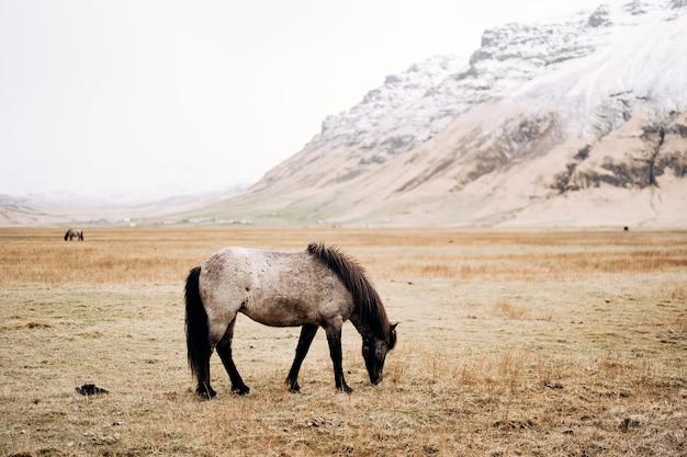 Een zwart-wit paard graast in een veld en eet geel droog gras tegen de achtergrond van een besneeuwde