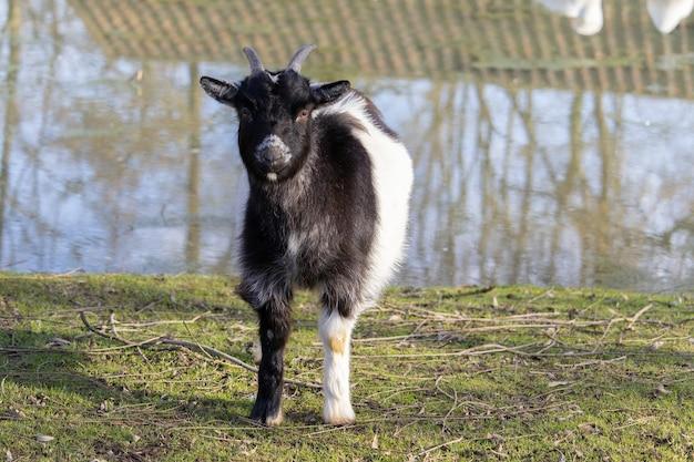Een zwart-witte geit die zich op het met gras begroeide gebied naast een vijver bevindt