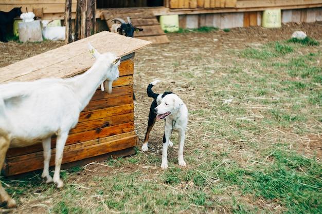 Een zwart-witte hond aan een ketting die zich dichtbij een witte geit bevindt