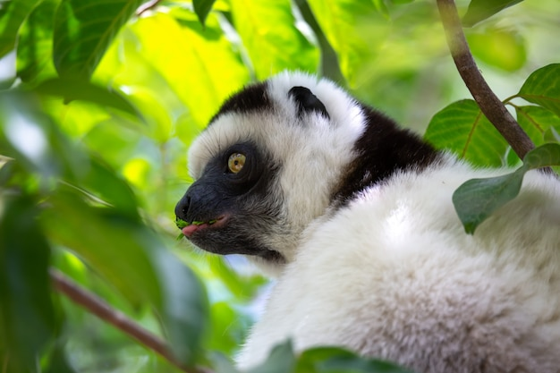 Een zwart-witte maki zit in de kruin van een boom, vari, sifaka