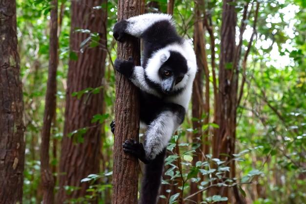 Een zwart-witte maki zit op de tak van een boom