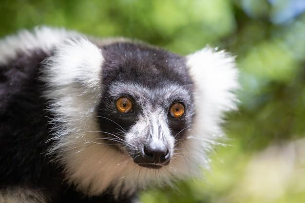 Een zwart-witte vari lemur ziet er heel nieuwsgierig uit.