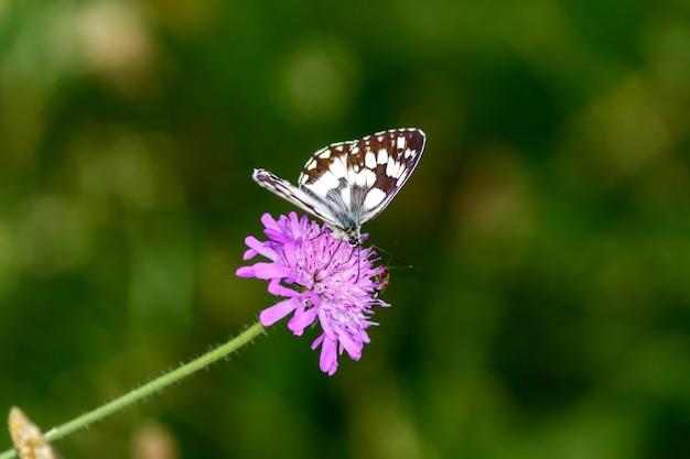Een zwart-witte vlinder gelegd op een roze bloem