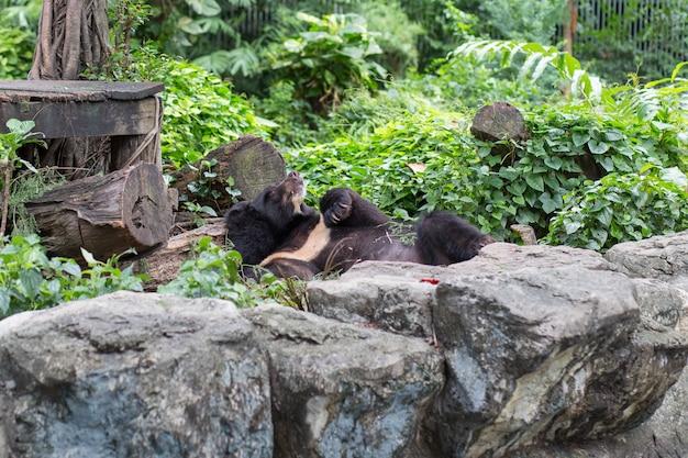 Een zwarte beer die in dusit-dierentuin, thailand slaapt.