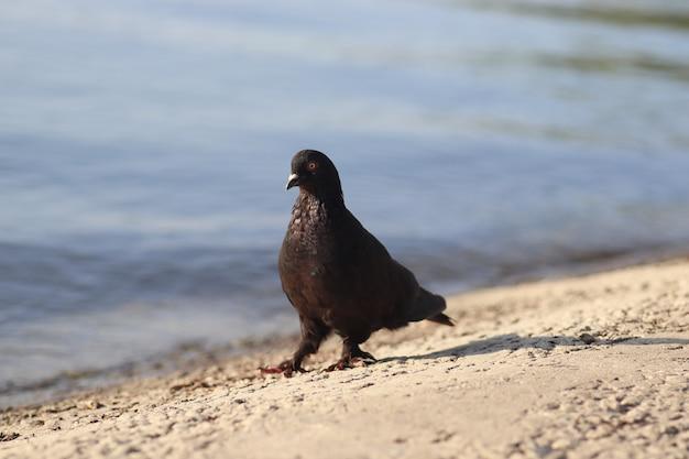 Een zwarte duif loopt op een zonnige dag langs het meer een zwarte huisduif loopt vrij rond walks