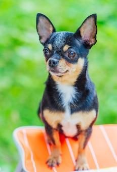 Een zwarte en tan chihuahua-hond die zich in openlucht bevindt en nadruk op het gezicht van de hond staart. hond