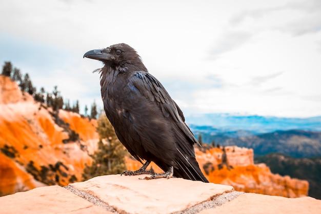 Een zwarte gier in bryce national park. utah, verenigde staten