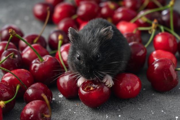 Een zwarte hamster eet verse kersen