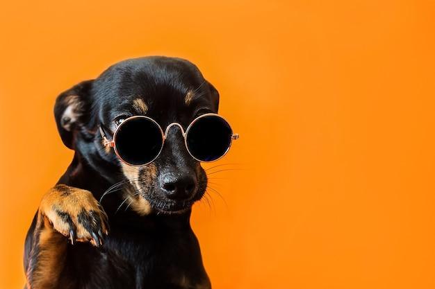 Een zwarte hond met een bril op een rode ondergrond