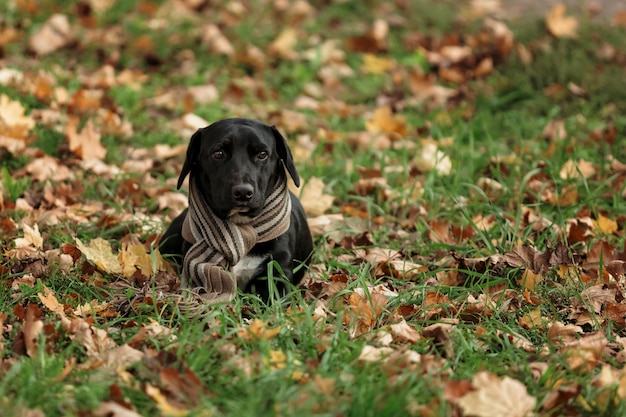 Een zwarte hond met lange oren zit op gras en bladeren met een sjaal