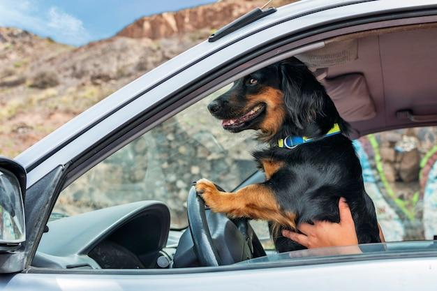 Een zwarte hond met zijn benen op het stuur van een auto die zich voordoet als de bestuurder