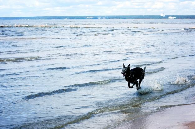 Een zwarte hond snelt door het ondiepe water van de baai.