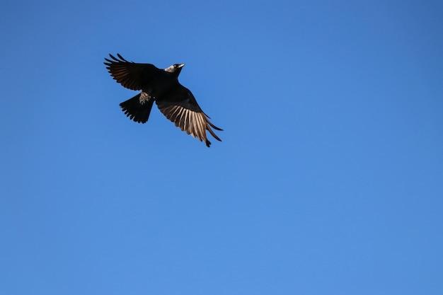 Een zwarte kraai aan de hemel