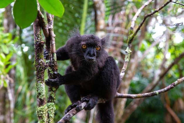 Een zwarte maki in een boom in afwachting van een banaan