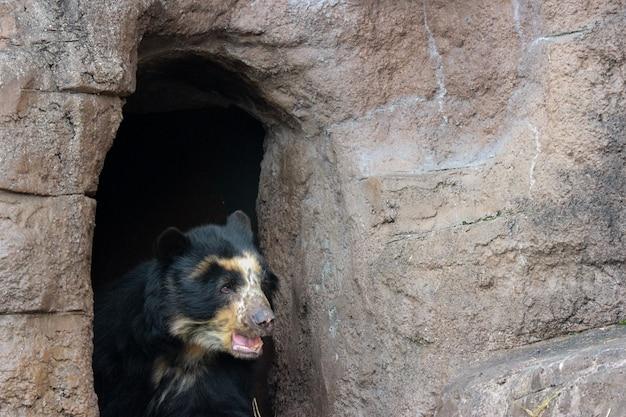 Een zwarte maleise zonbeer of de honing draagt op de grond van de rotsklip.