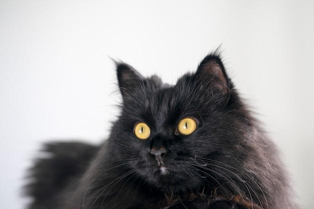 Een zwarte pluizige kat met gele ogen ligt en rust thuis op de witte achtergrond.